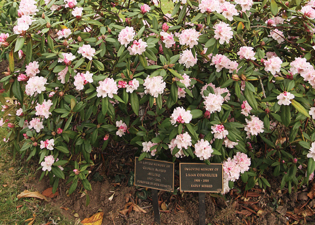 shrub with stem plaques (1)
